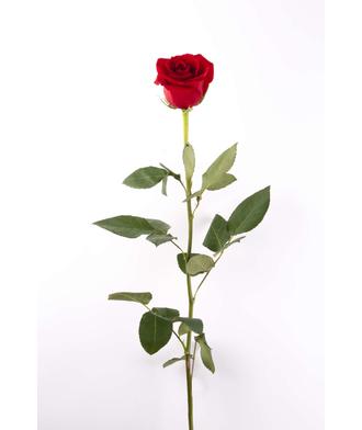 Роза 1 м